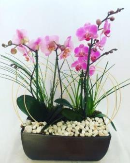 Orquídeas Rosa, Fuscia y Violeta